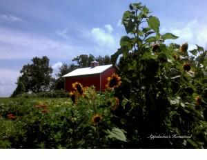 Appalachia Homestead sunflowers garden