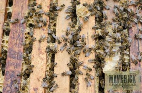 honeybee honeybees hive maverick homestead