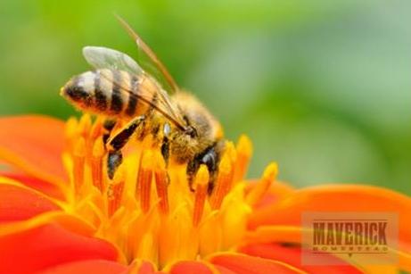 honey bee maverick homestead